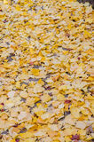 Fallen yellow ginkgo leaves Royalty Free Stock Photography