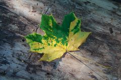 Fallen yellow-green leaf on the bark of the old tree Stock Photo