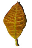 Fallen yellow leaf. Fallen red - brown leaf isolated on white Royalty Free Stock Image