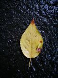Fallen yellow  leaf lying on wet ground Royalty Free Stock Image