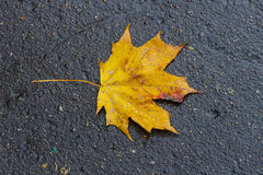 Fallen yellow leaf of a maple Stock Photography