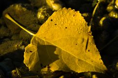 Fallen yellow leaf in a water stream at autumn, Topcider park, Belgrade. Serbia Stock Images