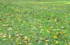 The fallen yellow leafs Stock Photos