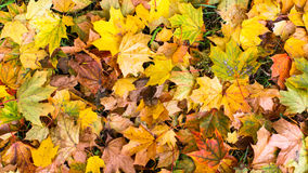 Fallen yellow leaves, autumn background. Flora. Royalty Free Stock Image