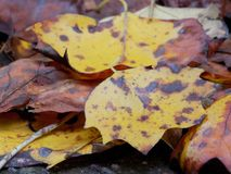 Fallen yellow leaves Stock Images