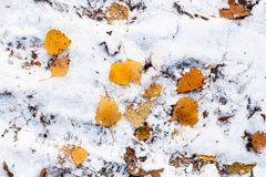 Fallen yellow leaves on the first snow stock photography