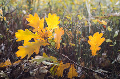 Fallen yellow leaves in forest Royalty Free Stock Images