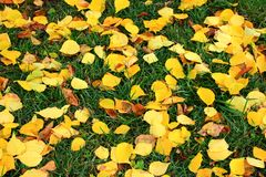 Fallen yellow leaves on green grass as beautiful bright autumn background. Fall park Stock Image