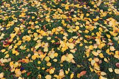 Fallen yellow leaves on green grass as beautiful bright autumn background. Fall park Royalty Free Stock Images