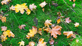 Fallen yellow leaves on green moss Stock Images