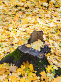 Fallen yellow leaves and old stump in autumn Stock Image