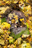 Fallen yellow leaves on stump in autumn Royalty Free Stock Photo