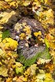 Fallen yellow leaves on stump in autumn Royalty Free Stock Photo