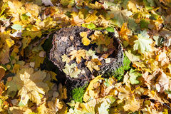 Fallen yellow leaves on stump in forest in autumn Royalty Free Stock Photos