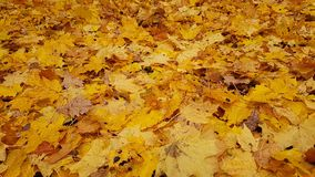Fallen yellow leaves. Royalty Free Stock Image