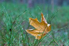 Fallen yellow maple leaf Stock Image