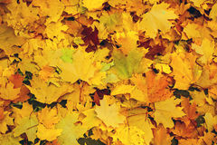 Fallen yellow maple leaves Stock Photography