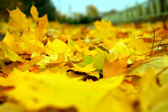 Fallen yellow maple leaves on the ground Stock Photography