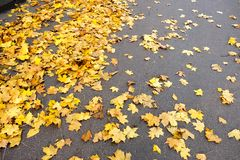 Fallen Yellow Maple Leaves On The Asphalt Royalty Free Stock Image