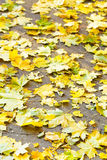 Fallen yellow maple leaves on pavement Royalty Free Stock Photo