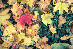 Fallen yellow and red leaves on green grass Stock Photos