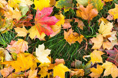 Fallen yellow and red leaves on green grass Royalty Free Stock Photos