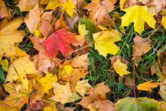 Fallen yellow and red leaves on green grass Stock Photography