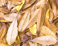 Fallen yellow star magnolia leaves. Closeup fallen yellow star magnolia, Magnolia stellata, tree oblong leaves showing veins on ground in autumn, upstate rural stock photography