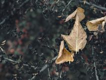 Fallen yellow tree leaf on dried bush during autumn season stock photo