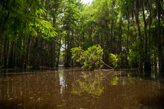Fallen Young Tree in the Midst of a Cypress Forest on Lake Bistineau Louisiana stock photography