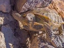 Fallende Schildkröte Lizenzfreie Stockfotos