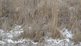 Fallender Schnee auf einem Hintergrund des trockenen Grases stock video