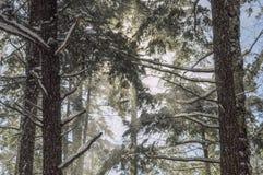 Fallender Schnee-und Ostschierlings-Bäume, silbernes See-Wildnisgebiet, Adirondack Forest Preserve, New York USA stockfoto