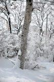 Fallender Schnee vom Baum Stockbilder