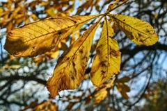 Fallendes Ahornblatt während des Herbstes Stockfotos