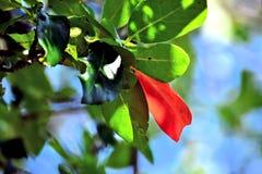 faller den första leafen Arkivfoto