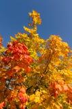 faller ljusa färger för abstrakt höst halvt för trevlig modell för leaves rött Royaltyfria Bilder