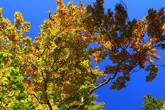 faller ljusa färger för abstrakt höst halvt för trevlig modell för leaves rött Royaltyfri Bild