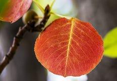 faller ljusa färger för abstrakt höst halvt för trevlig modell för leaves rött Arkivfoton