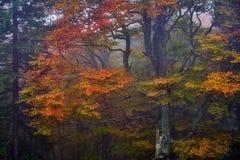 faller ljusa färger för abstrakt höst halvt för trevlig modell för leaves rött Royaltyfri Foto