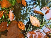 faller ljusa färger för abstrakt höst halvt för trevlig modell för leaves rött Detalj av ruttna gamla sidor på basaltgrus i spege Royaltyfri Foto