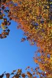 Fallfarben auf einem Bradford-Birnenbaum Stockfotografie