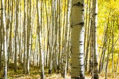 Fallfarben auf Laubbäumen in Keebler überschreiten, Colorado Stockfotos