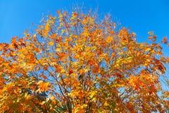 Fallfarben des Ahornbaums Stockbilder