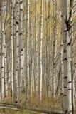 Fallfarben innerhalb des Aspen-Waldungswaldes Lizenzfreie Stockfotos