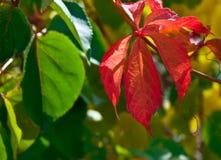 Fallfarbton-Traubenrebe im Herbst Stockbilder