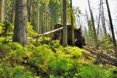 Fallfruktben i skogen Arkivfoton