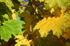 fallgreen låter vara yellow Arkivfoton