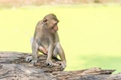 Fallhammer Affe leben in der Natur Fallhammer auf dem Baum Lizenzfreie Stockfotos