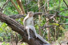 Fallhammer Affe leben in der Natur Fallhammer auf dem Baum Stockfotos